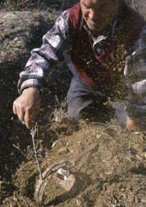 Disparando el cepo para cazar jabalíes.